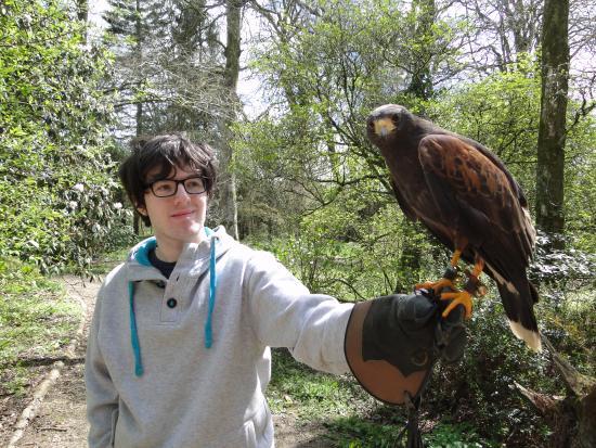 Haverfordwest, UK: One of the Harris Hawks