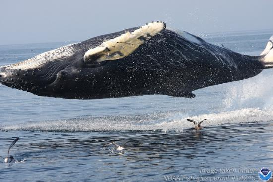 Scituate, MA: A breaching humpback whale that appears to be levitating in Stellwagen Bank National Marine Sanc
