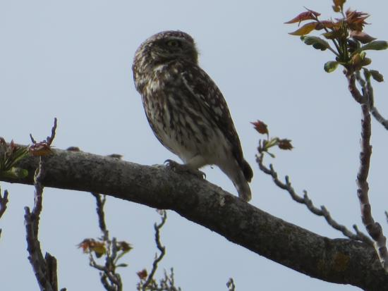 Baza, Spain: Little Owl - taken with my tiny tourist camera