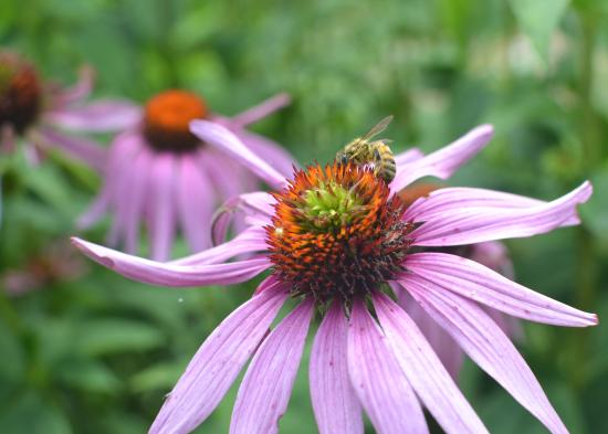 New Hamburg, Kanada: Honey bee on a purple coneflower.