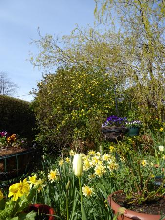 St Ann's House: Kerry japonica cascades into daffodils