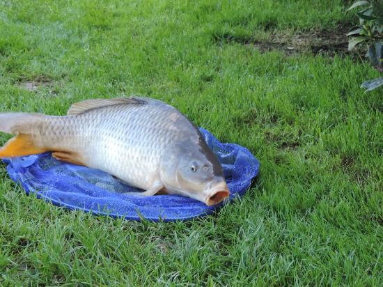 Cahagnolles, ฝรั่งเศส: carpe pêchée dans l'étang
