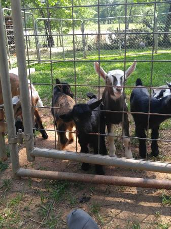 Anderson, SC: Goats & chickens everywhere. No charge. But they do charge for a tour. The people are sweet and