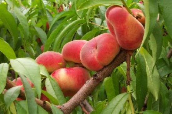 Milton, NY: Donut peaches