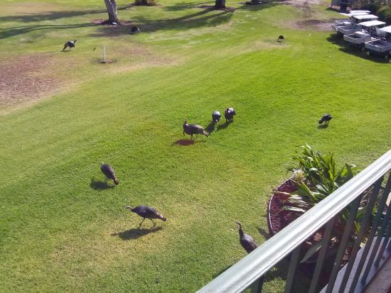 Free Range Turkeys At Paniolo Greens Picture Of