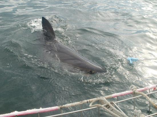 Mosselbaai, Zuid-Afrika: Shark