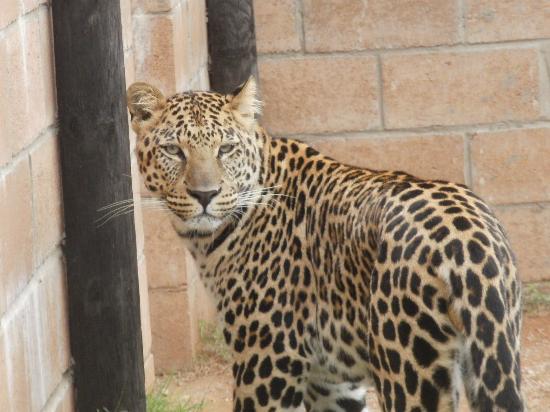 Kirkwood, Sudáfrica: Leopard