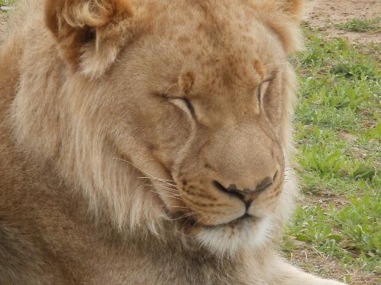 Kirkwood, Sudáfrica: Lion
