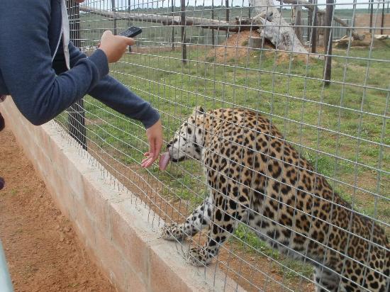 Kirkwood, Sudáfrica: Super Friendly Leopard