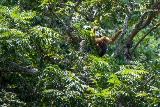 Huay Xai, Laos: Critically Endangered Black Crested Gibbon
