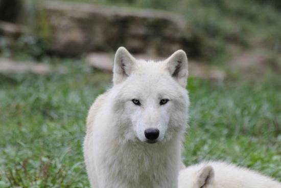 Rhodes, France : loup blanc