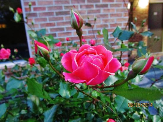 """Super 8 Florence: These roses are well looked after and show """"pride of ownership."""""""
