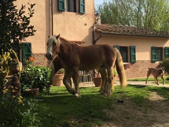 Fauglia, Italien: ogni tanto si pascola