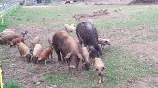 Sperryville, VA: Beautiful pigs