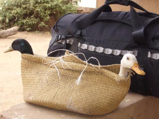 Antananarivo Province, Madagascar: Duck or be eaten