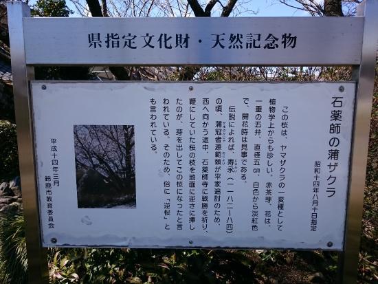 Ishi Yakushi Kaba Zakura Cherry Blossom