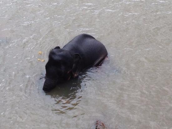Pinnawala, Sri Lanka: This one really is into water- cuteness loads