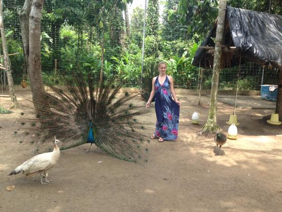 Lipa Noi, Tailandia: гуляющие важные павлины