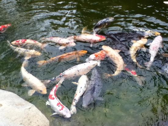 Saratoga, CA: Koi in all colors and sizes.