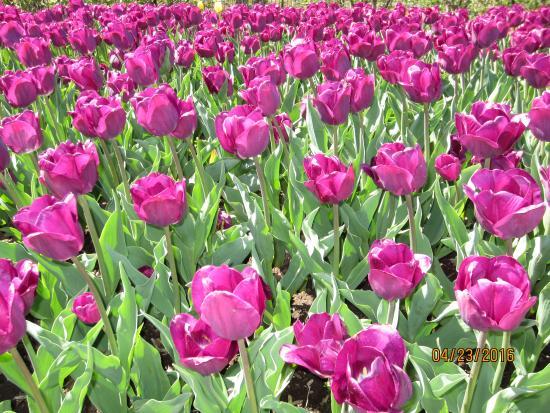 State College, Pensilvania: Tulips in full bloom