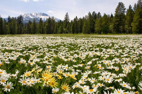 Island Park, ID: Fields of Mule's Ears fill meadows here.