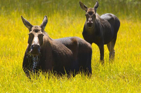 Island Park, ID: Moose in the nearby Wildlife Refuge.
