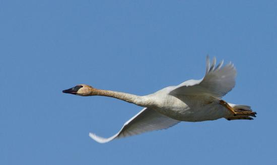 Island Park, ID: Beautiful Trumpter Swans call us home.