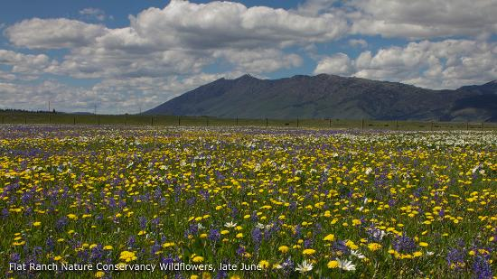 Island Park, ID: Large meadows of wildflowers in June.