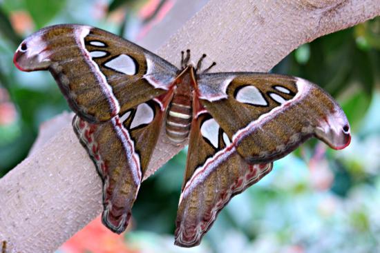 Papillon de nuit photo de jardin botanique de montreal for Papillon jardin botanique 2015