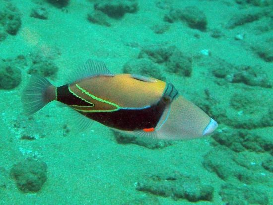 Humuhumunukunukuapua a state fish of hawaii picture of for Hawaii state fish