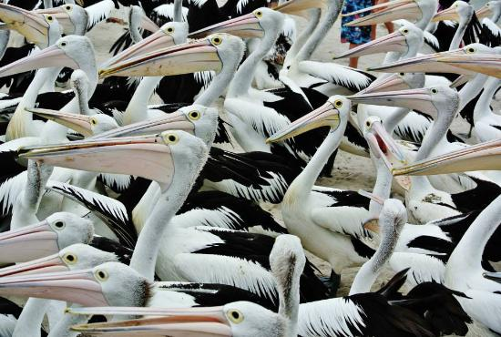 Labrador, Австралия: Pelican Feeding