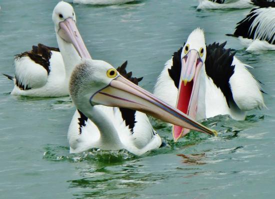 Labrador, ออสเตรเลีย: Pelican Feeding