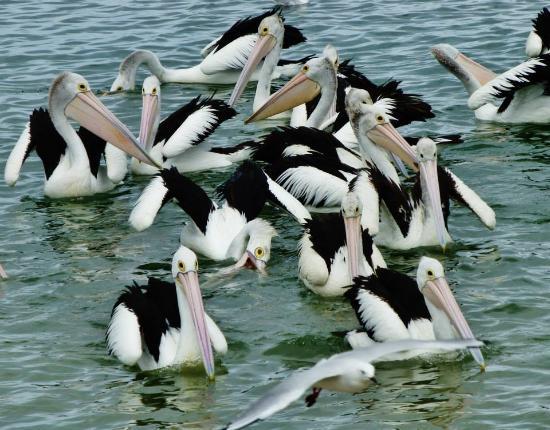 Labrador, Australia: Pelican Feeding