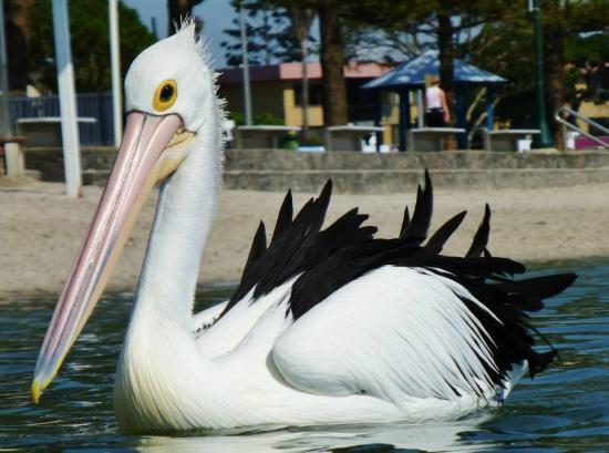 Labrador, Australië: Pelican Feeding