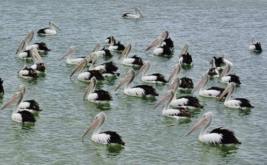 Labrador, أستراليا: Pelicans