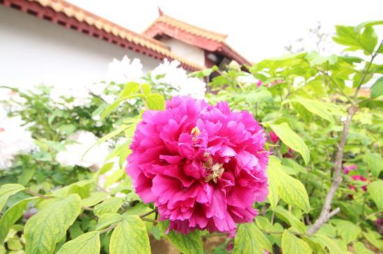 Luoyang International Peony Garden: 牡丹花