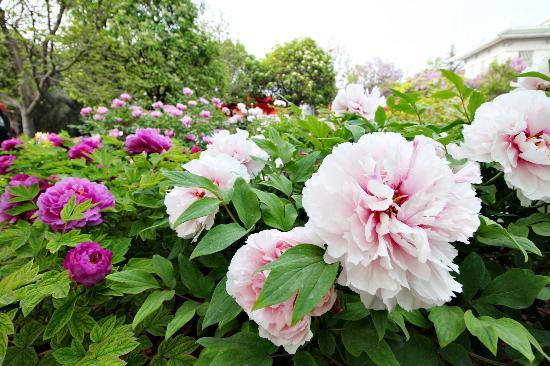 Luoyang International Peony Garden: 漂亮的牡丹花