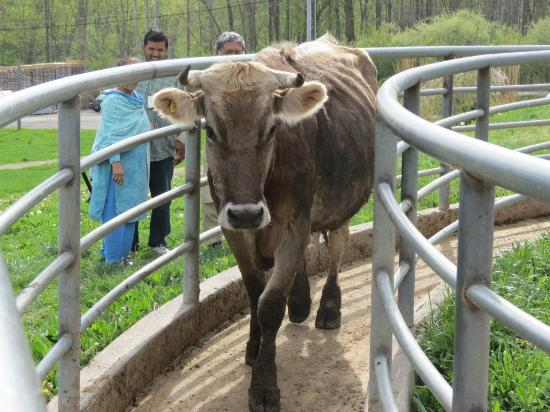 Zionsville, IN: The cow moving to the milking area