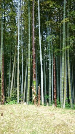Katsuura, Japón: 竹林に今年生まれた竹の子がどんどん伸びている姿に竹の力強さを感じます。