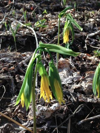 Burnsville, Carolina del Norte: Bellwort