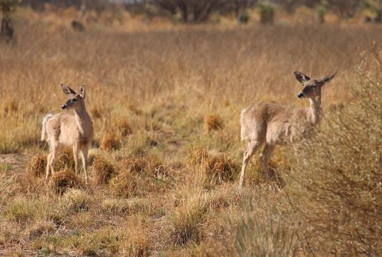 Hereford, AZ: Deer at San Pedro House