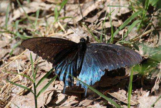 Hereford, AZ: Butterfly along San Pedro River