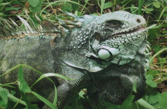 Hotel El Sauce Inn: Iguana arborea descubralo con Amazonian Untamed jungle tours.