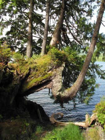 Water's Edge Shoreside Suites: Auf diesen knorrigen Baum schauten wir vom Zimmer
