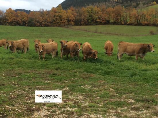 Restaurant Aubrac: nos vaches Aubrac