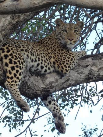 Umlani Bushcamp : Our first leopard sighting