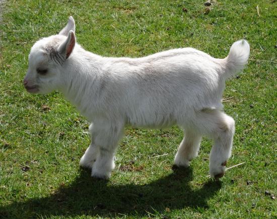 pygmy-goat-kid.jpg