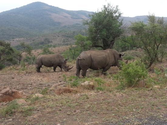 Zululand, Zuid-Afrika: Rhino