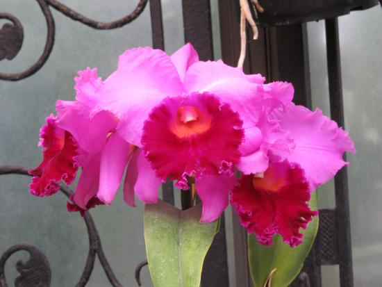 Kennett Square, PA: An orchid
