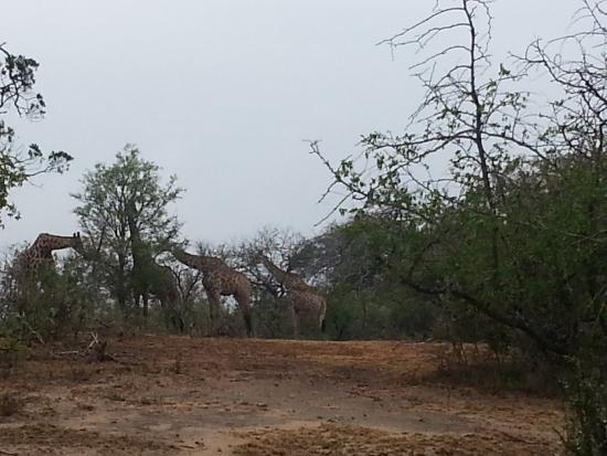 Zululand, Sudáfrica: Giraffen
